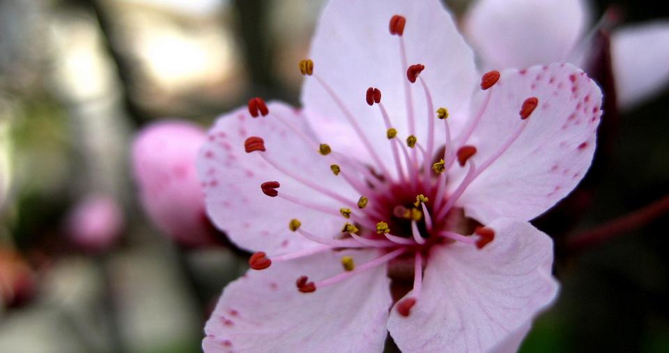 882640-sakura-flowers
